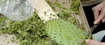 Nopal Powder Capsules (Prickly Pear) Cleaning & Scaling